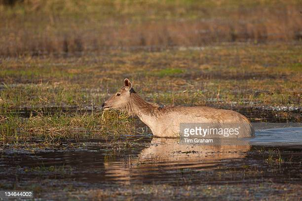 Indian Sambar Rusa unicolor female deer in Rajbagh Lake in Ranthambhore National Park Rajasthan India