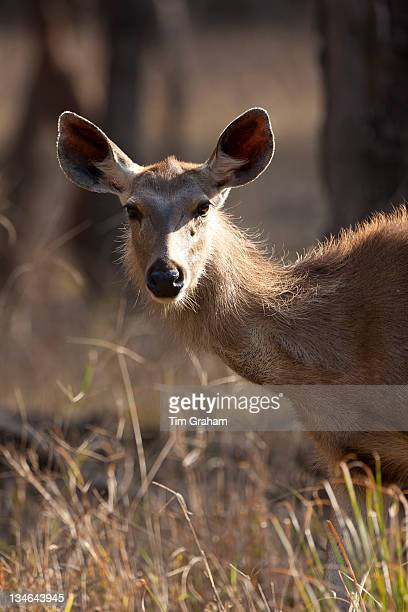 Indian Sambar Rusa unicolor female deer in Ranthambhore National Park Rajasthan India