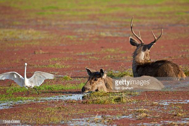 Indian Sambar Rusa unicolor male and female deer in Rajbagh Lake in Ranthambhore National Park Rajasthan India