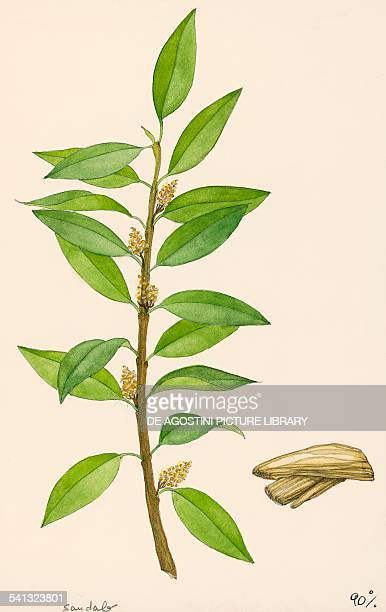 Indian sandalwood blooming branch Santalaceae drawing