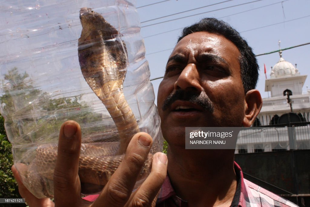 Indian Society for the Prevention of Cruelty to Animals (SPCA) Inspector, Ashok Joshi, holds a cobra that he caught in a house on outskirts of Amritsar on April 25, 2013. Snakes and particularly the King Cobra are venerated in India as religious symbols worn by Lord Shiva, the god of destruction. India has 238 species of the reptile, of which 50 are poisonous.
