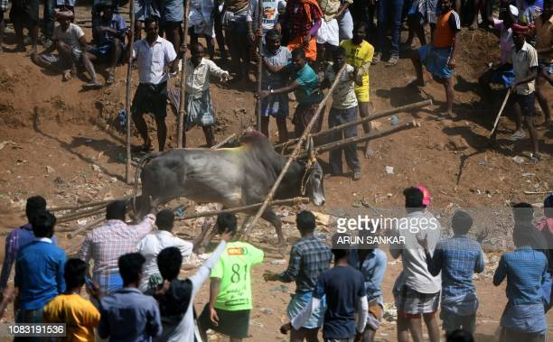 Indian spectators look on as a bull walks among the crowd at the annual bull taming event 'Jallikattu' in Palamedu village on the outskirts of...
