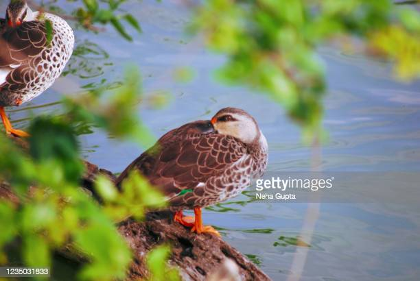 indian spot-billed duck relaxing in a water pond - wildlife reserve stock pictures, royalty-free photos & images