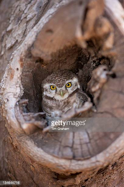 Indian Spotted Owl Strix occidentalis in tree nest in village of Nimaj Rajasthan Northern India