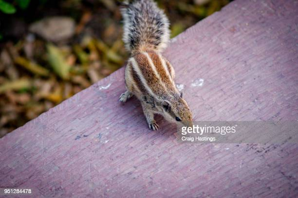 indian squirrel finding food - fuchspfote stock-fotos und bilder