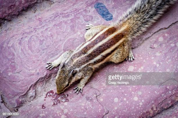 indian squirrel in the red fort - fuchspfote stock-fotos und bilder