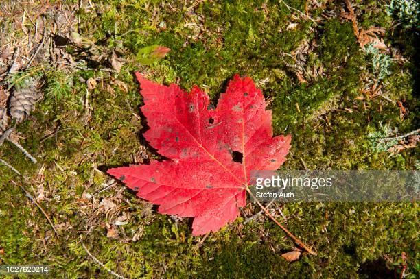 Indian summer, autumn foliage, Red Maple (Acer rubrum) leaf on the ground, Adirondacks, Adirondack Mountains, near Lake Placid, New York, USA