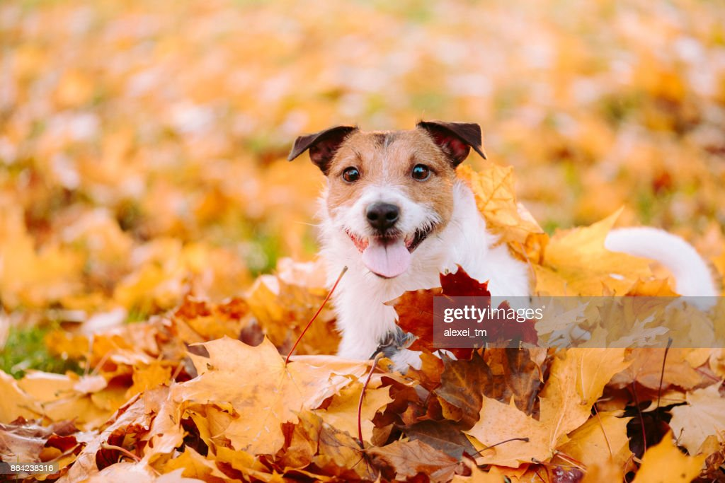Indian summer  (Golden autumn) concept with dog and orange maple leaves : Stock Photo