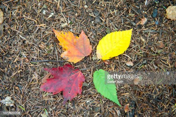 Indian summer, foliage in autumn, four colourful leaves on the ground, orange, yellow, green and red, Crawford Notch, White Mountains, New Hampshire, New England, USA
