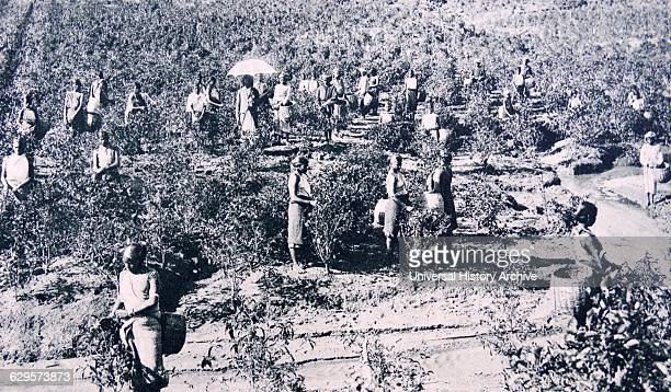Indian tea planation during British colonial rule 1928