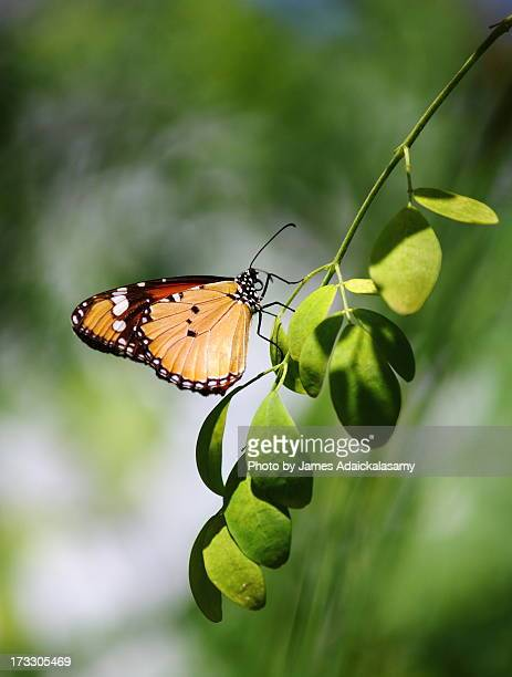 Indian Tiger Butterfly
