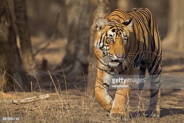 indian tiger, india - tigre de bengala fotografías e imágenes de stock
