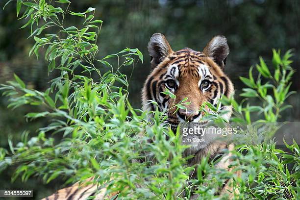 indian tiger - wildlife reserve stock pictures, royalty-free photos & images