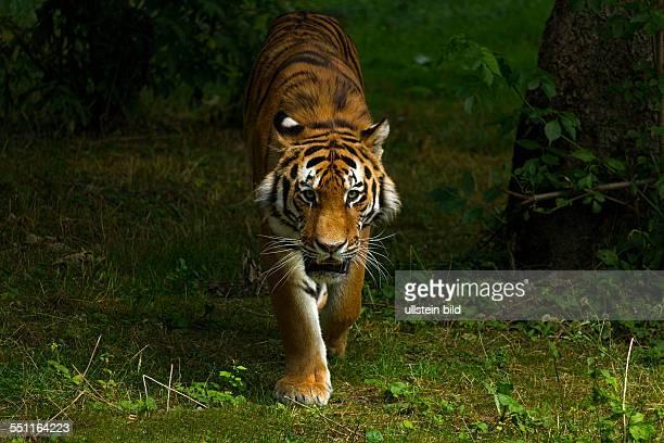 Indian Tiger walking on green grass Hellabrunn Zoo Munich Upper Bavaria Germany Europe