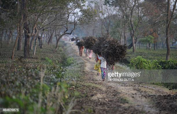Indian tribal residents collect dry tea bushes to be used for firewood at the Dagapur tea garden on the outskirts of Siliguri in the eastern state of...