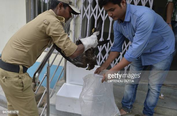 Indian veterinary doctors place a dead black kite inside a plastic bag at Bengal Safari veterinary hospital in Siliguri on April 7 2018 More than 60...