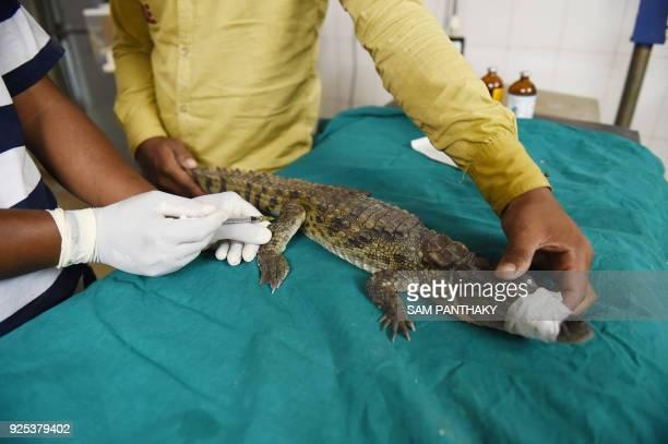 Indian veterinary nurse Jagdishbhai Waghela and helper Bharatbhai Gohil treat an injured crocodile at the Asha Foundation animal shelter and hospital...