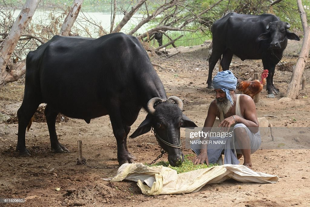 Indian villager Surjit Singh feeds his livestock at the India/Pakistan border area village Chak Allah Bakash about 45km from Amritsar on September 30.