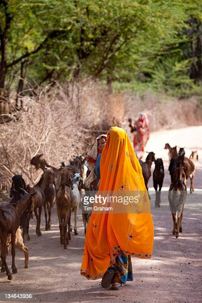 Indian villager with herd of goats in village near Ranthambore in Rajasthan Northern India