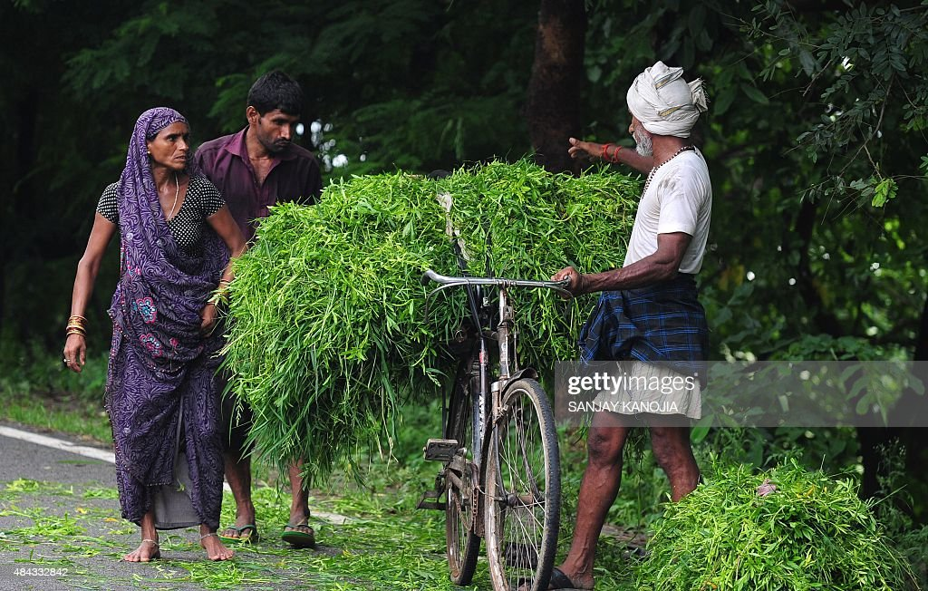 Indian villagers help each other to load grass on a bicycle after cutting it in a nearby field to be used as cattle fodder in Allahabad on August 17, 2015.