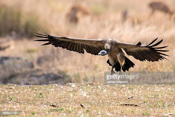 indian vulture landing - bandhavgarh national park stock pictures, royalty-free photos & images