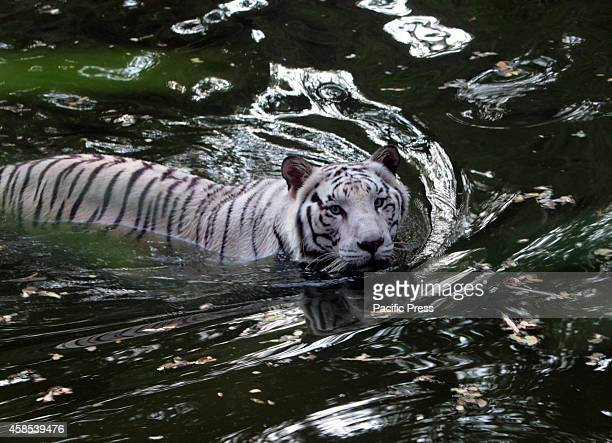 Indian White Tiger at Nehru Zoological park at Hyderabad