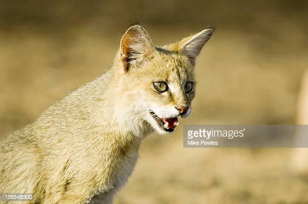 indian wild cat, felis silvestris, ranthambhore, india  - asiatische wildkatze stock-fotos und bilder