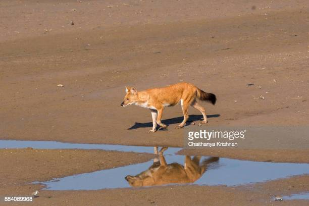 Indian wild dog aka Indian dhole standing on a river bed inside pench national park during a wildlife safari