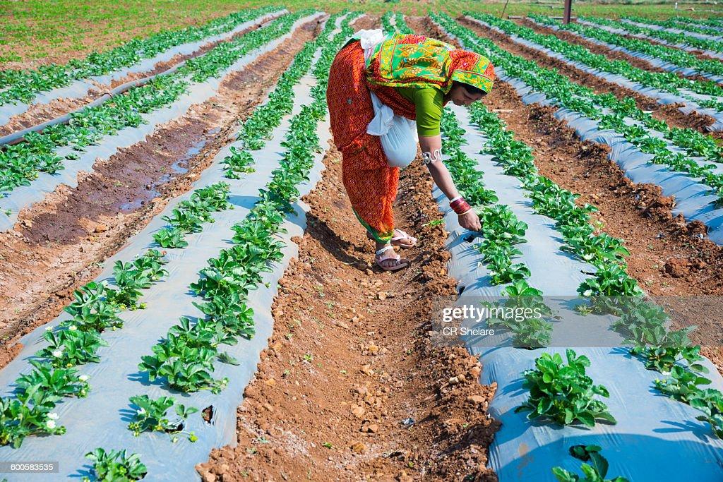 Indian woman Farmer working strawberry field : Stock Photo