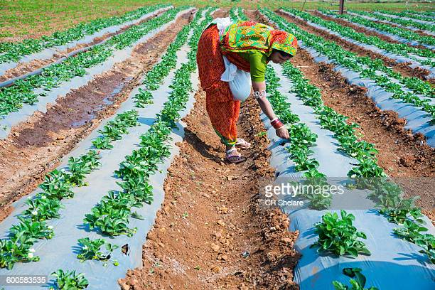 indian woman farmer working strawberry field - maharashtra stock pictures, royalty-free photos & images