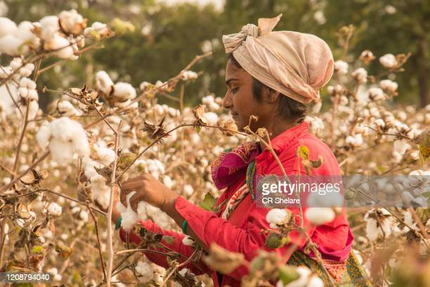 indian woman harvesting cotton in a cotton field, maharashtra, india. - 木綿 ストックフォトと画像