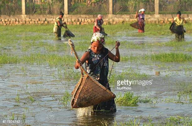 Indian women catches water insects with a bamboo basket for food in water logged field in Dimapur India north eastern state of Nagaland on Saturday...