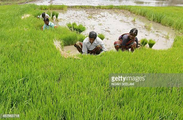 Indian women labourers work in the paddy fields at Medak district some 60 kilometers from Hyderabad on July 31 2014 The Indian economy which is still...