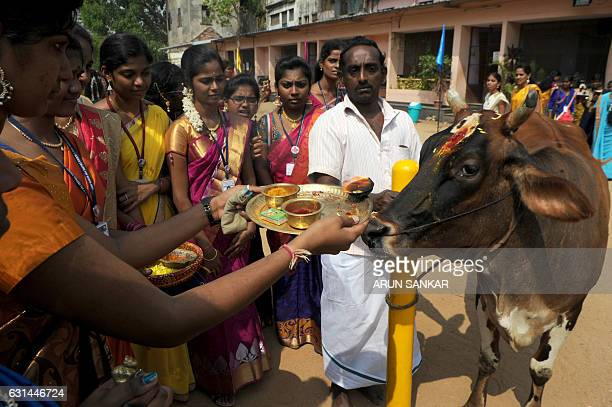 Indian women offer 'aarthi' to a cow during celebrations of the Tamil harvest festival Pongal at a college in Chennai on January 11 2017 / AFP / Arun...