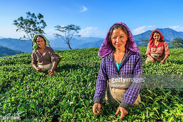 Indian women plucking tea leaves in Darjeeling, India