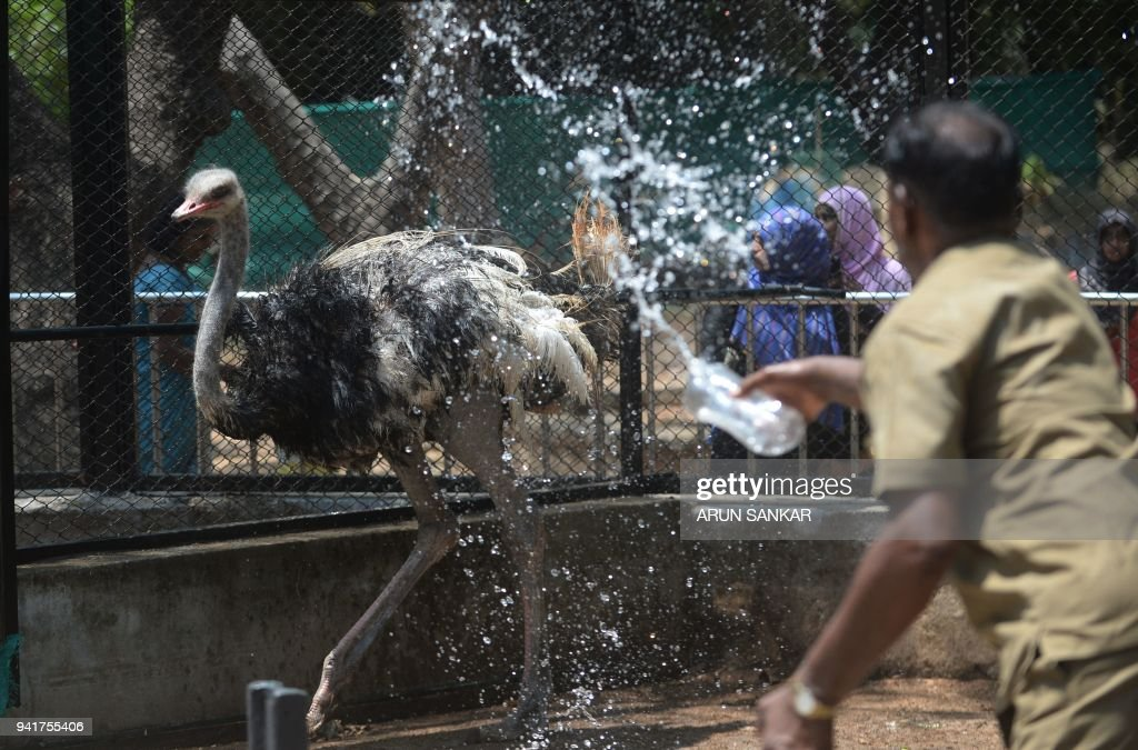 A Indian zoo keeper sprays water onto a ostrich during a hot