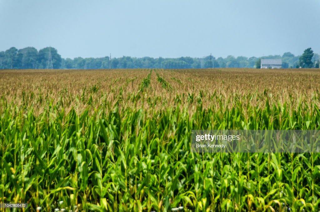 Indiana Corn Field Landscape : Stock Photo
