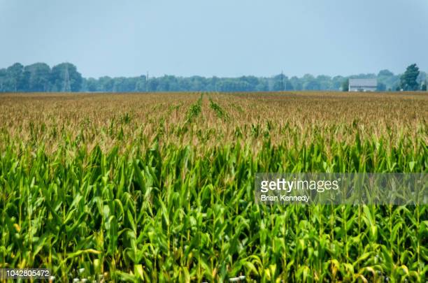 indiana corn field landscape - indiana stock pictures, royalty-free photos & images