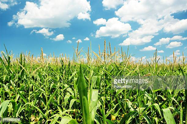 indiana cornfield with clouds on bright summer day - corn stock pictures, royalty-free photos & images