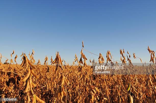 Indiana campo di soia e scene