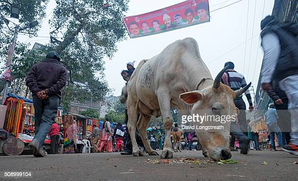 Indians walk in and around cows that gather on the streets For Hindus cows are sacred and cannot be slaughtered They were the favorite animal of Lord...