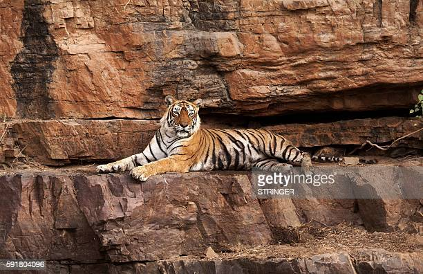 India's most famous tiger, Machali, is pictured in this undated photograph at Ranthambore National Park in western Rajasthan state. India's most...