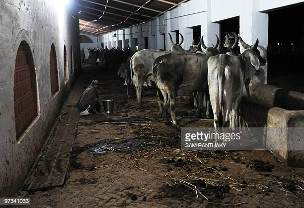 IndiasciencemedicineresearchcowsFEATURE by Rupam Jain Nair This photo taken on February 27 2010 shows a farm worker waiting with a bucket for cows to...