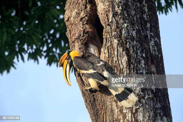 IndiaTamil NaduAnaimalai Mountain Range Great hornbill also known as the great Indian hornbill or great pied hornbillmale at the nest