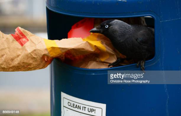 indignant blackbird - merel stockfoto's en -beelden