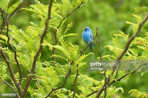 indigo bunting in the forest in texas - songbird stock pictures, royalty-free photos & images