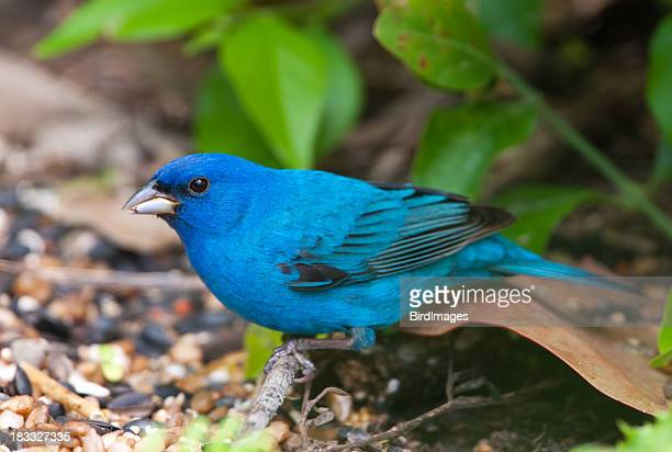 indigo bunting - male - warbler stock pictures, royalty-free photos & images