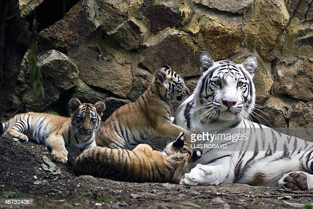 Indira a bengal white tigress lies down with her cubs at the zoo of Cali Colombia on February 6 2014 The cubs were born on November 30 2013 AFP PHOTO...