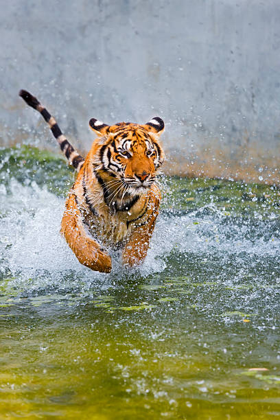 Indochinese or Corbett's Tiger Running In Water