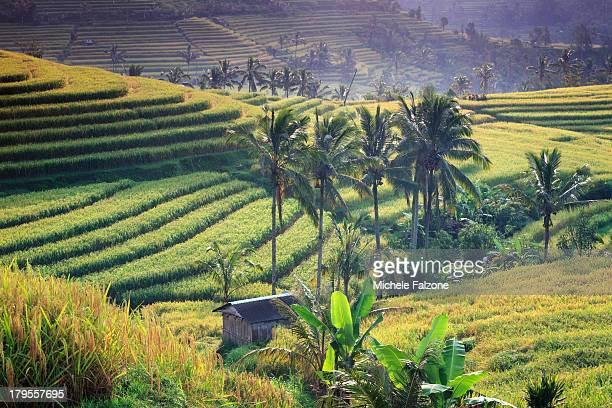 Indonesia, Bali, Jatiluwih Rice Terraces